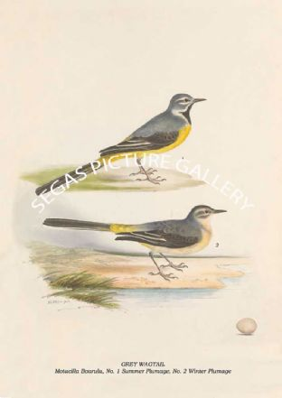 GREY WAGTAIL - Motacilla Boarula, No. 1 Summer Plumage, No. 2 Winter Plumage